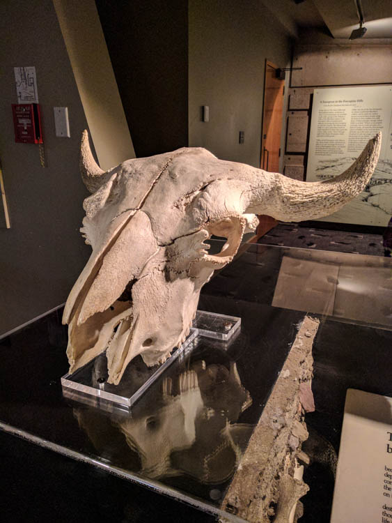 Head-Smashed-In Buffalo Jump Bison Skull