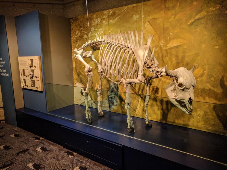 Head-Smashed-In Buffalo Jump Bison Skeleton
