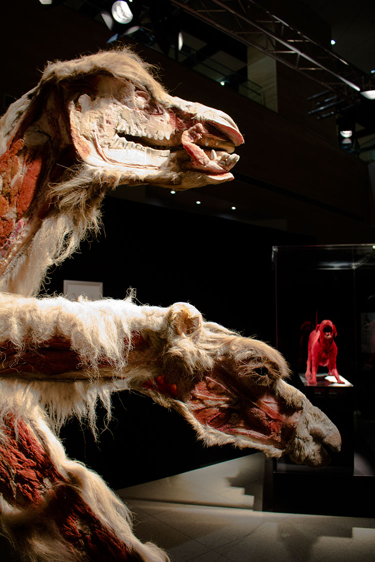 TELUS Spark BODY WORLDS Animal Inside Out adult camel
