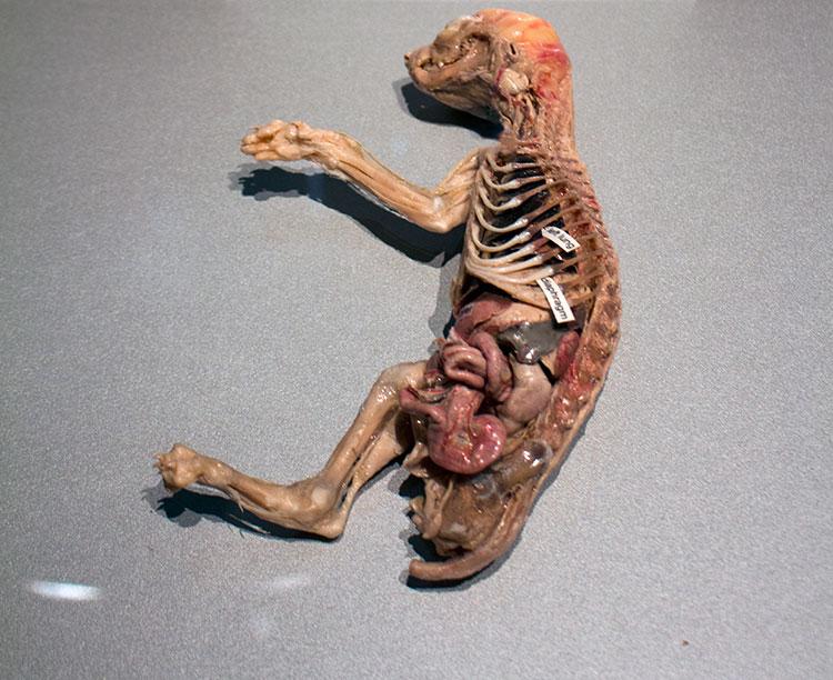 TELUS Spark BODY WORLDS Animal Inside Out cat