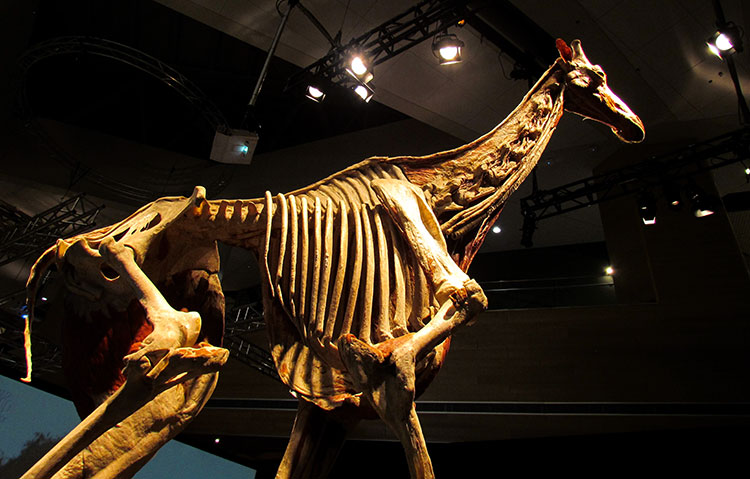 TELUS Spark BODY WORLDS Animal Inside Out Giraffe