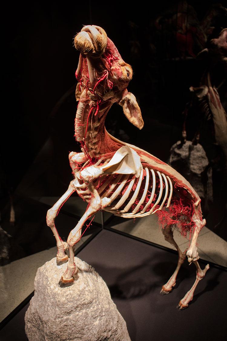TELUS Spark BODY WORLDS Animal Inside Out goat