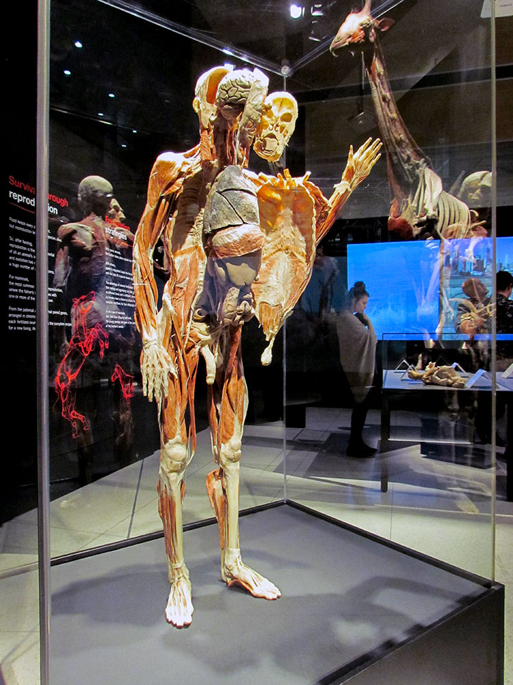 TELUS Spark BODY WORLDS Animal Inside Out Human Male