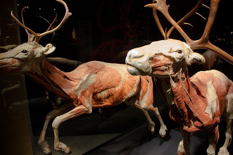 TELUS Spark BODY WORLDS Animal Inside Out Reindeer