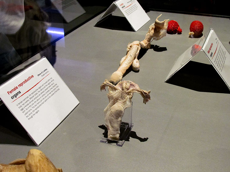 TELUS Spark BODY WORLDS Animal Inside Out Female Reproductive Organs