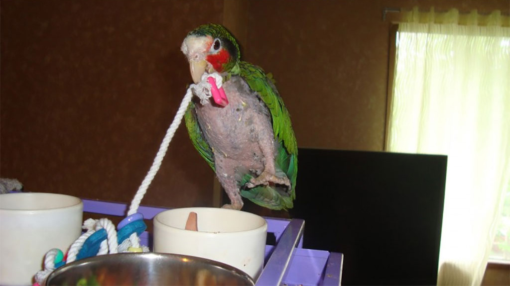 Birdline Canada Parrot Rescue bird without feathers from plucking