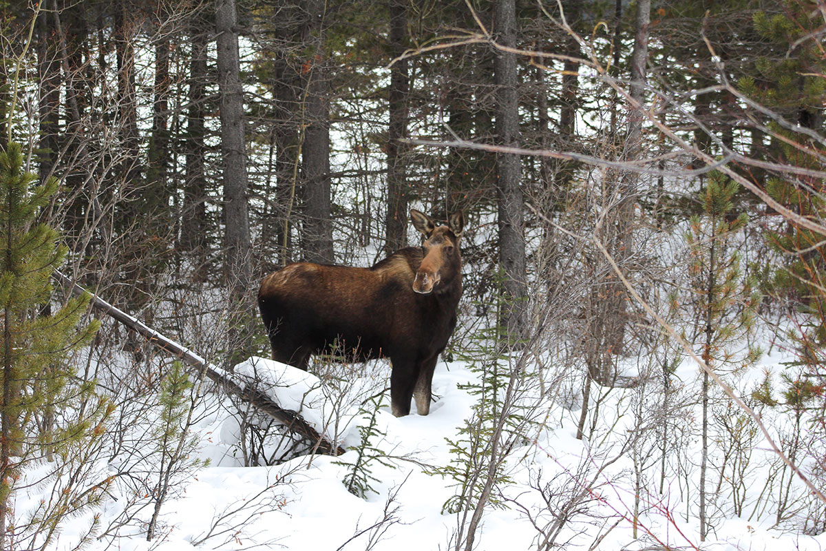 Mount Engadine Lodge moose wild life spray lakes reservoir in snow